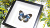 butterfly frame displayHypolimnas monteironis