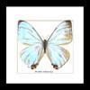 Real butterfly framed Morpho sulkowskyi Bits&Bugs