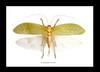 Pseudophyllus hercules Bits & Bugs