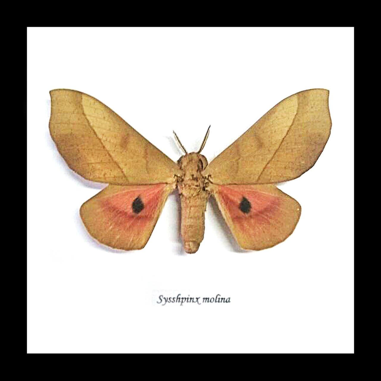 Sysshpinx molina - Bits and Bugs