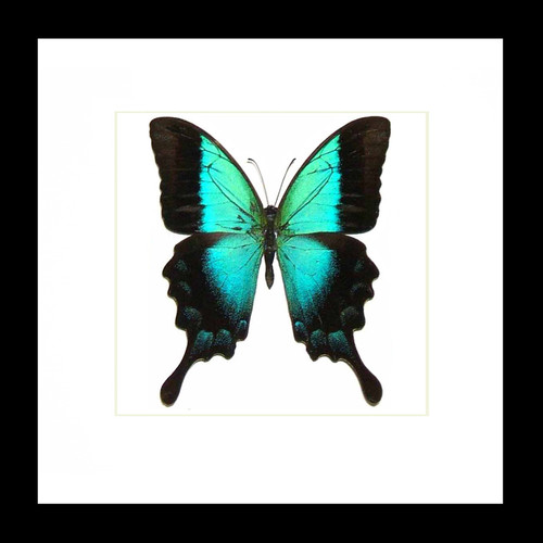 Papilio pericles Bits & Bugs