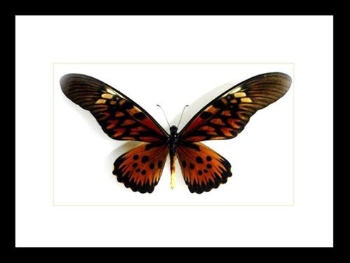 Papilio antimachus Bits & Bugs