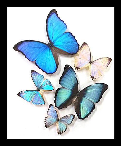 morpho butterflies
