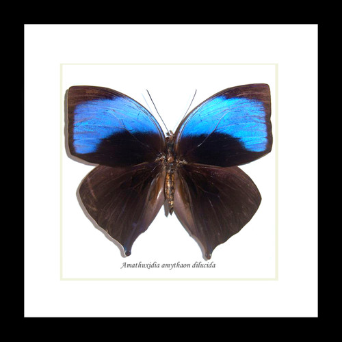 Amathuxidia amythaon dilucida Bits&Bugs