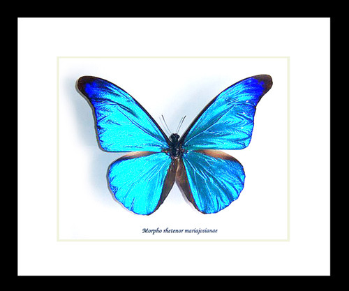 Butterfly framed Morpho rhetenor mariajosianae Bits and Bugs