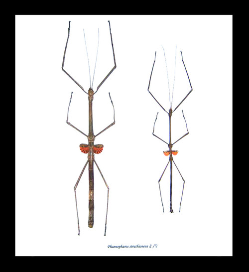 Stick insect giant Phaenopharos struthioneus Bits & Bugs