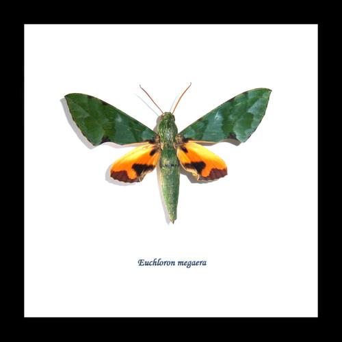 Real moth in frame  Euchloron megaera  Bits and Bugs