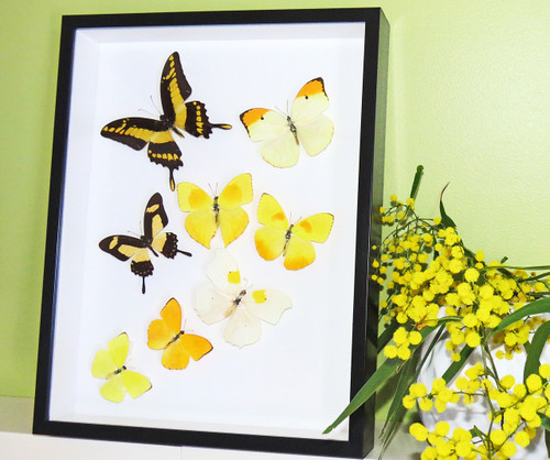 Framed butterfly collection Bits and Bugs