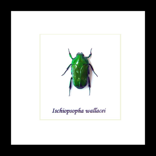 beetle Ischiopsopha wallacei  bugs beetles framed insects  Bits & Bugs