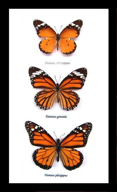 Australian framed butterfly  Bits & Bugs