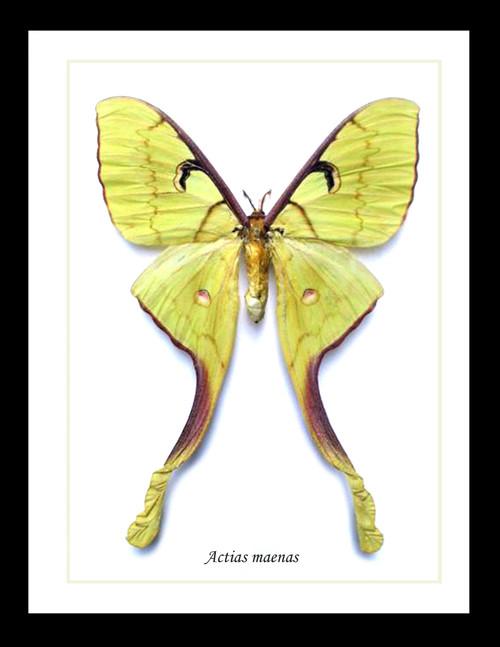 Actias maenas Bits & Bugs