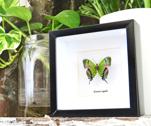 butterflies for sale Australia Bits and Bugs