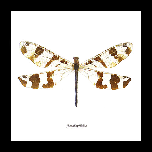 antlion dragonfly damselfy insect