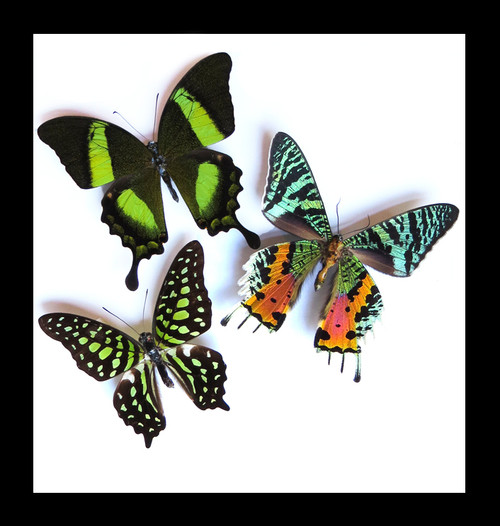 Framed butterflies for sale Australia