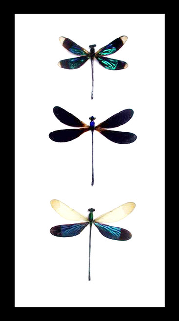 taxidermy insect Framed dragonfly  Bits and Bugs