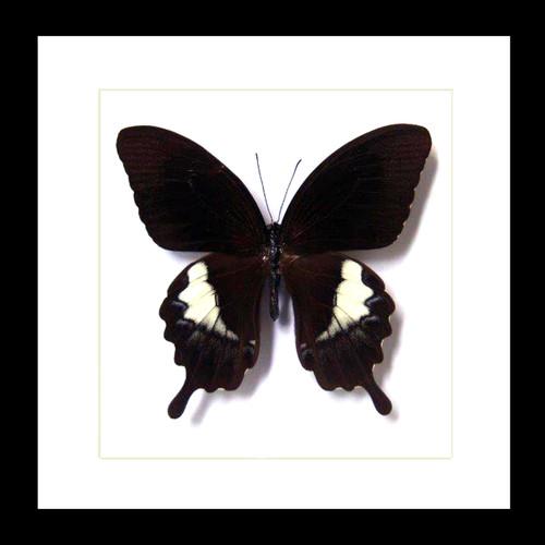 Papilio butterfly species Papilio fuscus Bits&Bugs