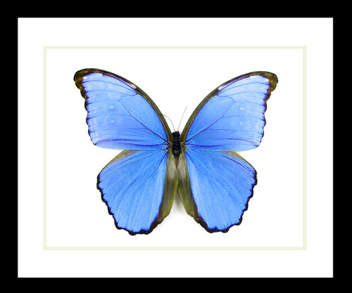 Butterfly framed Morpho didius Bits & Bugs