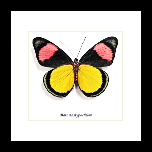 Batesia hypochlora butterfly home decor Bits and Bugs