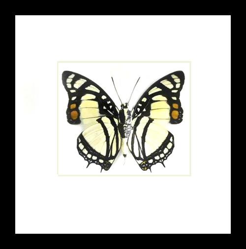 Framed butterflies Charaxes nobilis Bits&Bugs
