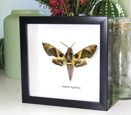 Daphnis hypothous Bits & Bugs