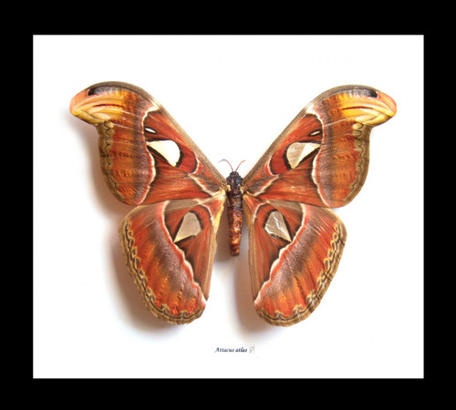 Attacus atlas  Bits & Bugs