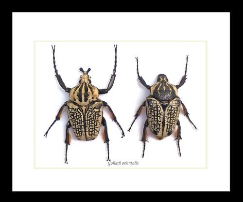 Goliathus orientalis African beetles