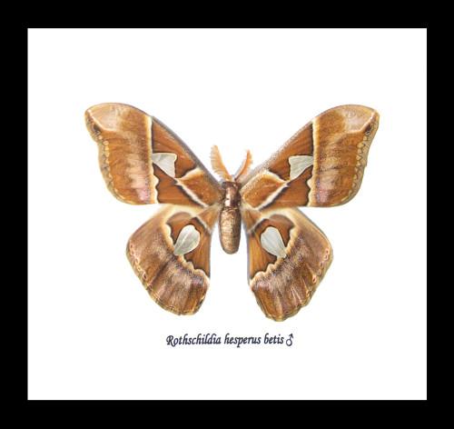 Rothschildia hesperus betis