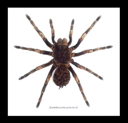 spider arachnid insect Acanthoscurria juruenicola  Bits & Bugs