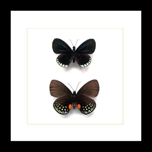 Eumaeus minyas Bits & Bugs