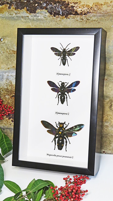 Real Wasps Taxidermy Framed insect collection real stinging wasps Bits & Bugs