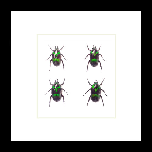 Real beetles in shadow box Mystroceros rouyeri Bits & Bugs