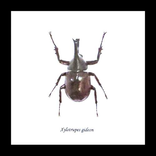 Australian Rhino beetle Xylotrupes gideon Bits & Bugs