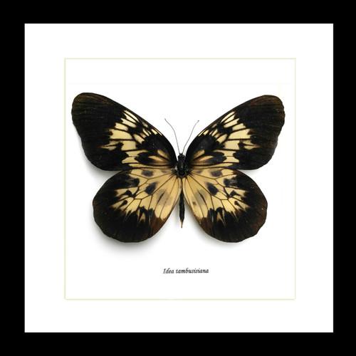 Real butterfly Idea tambusisiana Bits & Bugs