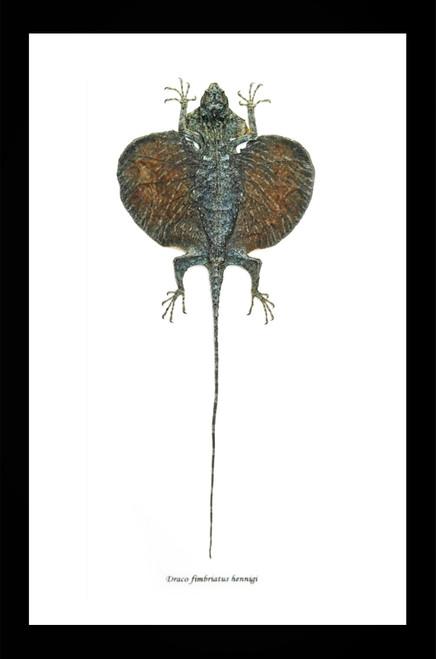 Lizard Draco fimbriatus hennigi Bits & Bugs