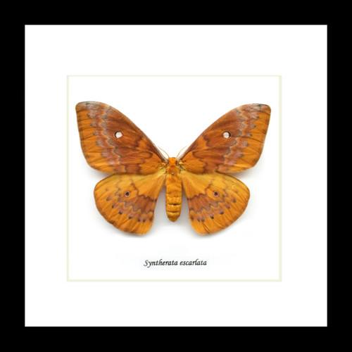 Australian moth Bits & Bugs