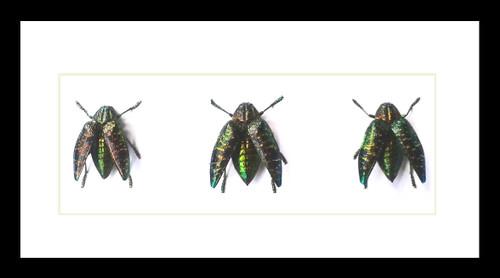 Polybothris sumptuosa sumptuosa bits & bugs