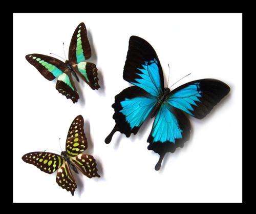 Australian butterflies Bits & Bugs