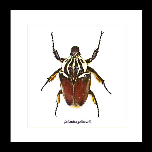 Beetle real Goliathus goliatus