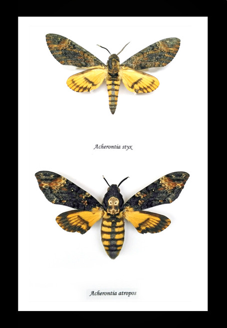 Deaths Head Hawk Moths Silence of the Lambs moth