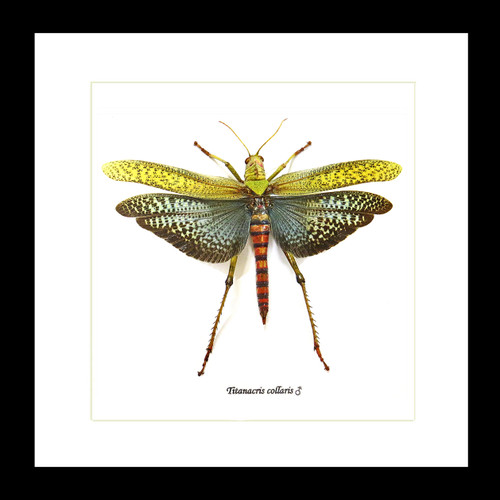 Titanacris collaris grasshopper