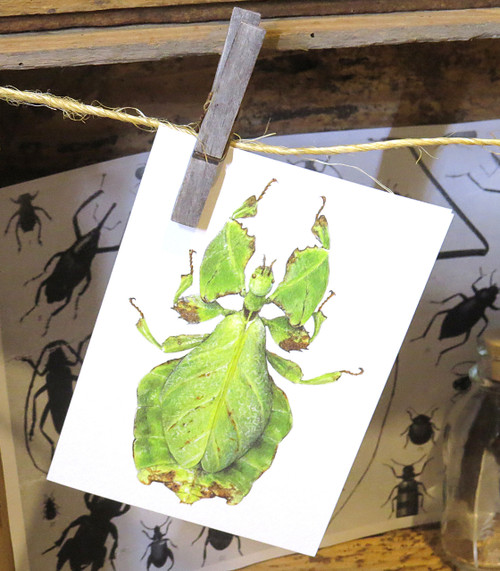 Leaf insect bug entomology taxidermy for sale Bits and Bugs