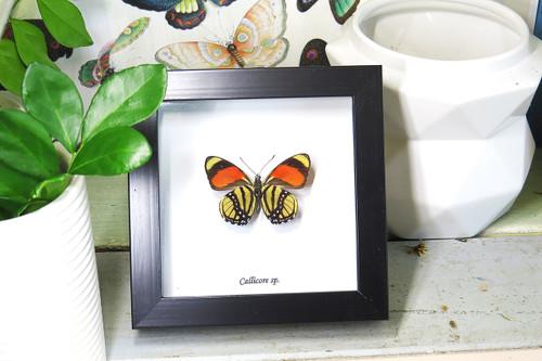 mini frame Callicore sp. B - Bits and Bugs