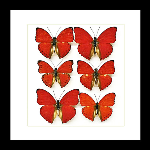 butterfly display taxidermy red butterflies bitsandbugs