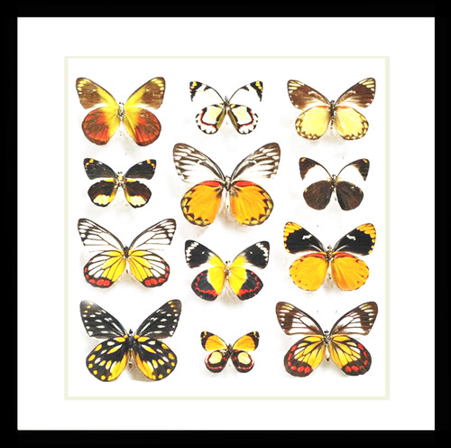 butterflies insects taxidermy home decor bits and bugs
