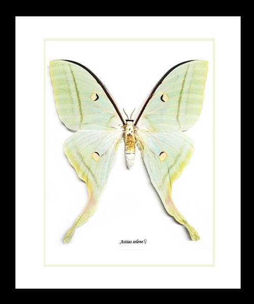 moon luna moth Actias selene Bits and Bugs