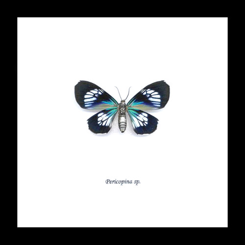 Moth Pericopina species  Bits & Bugs