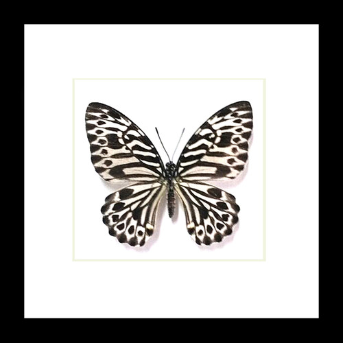 butterfly display framed Graphium delesserti  Bits & Bugs