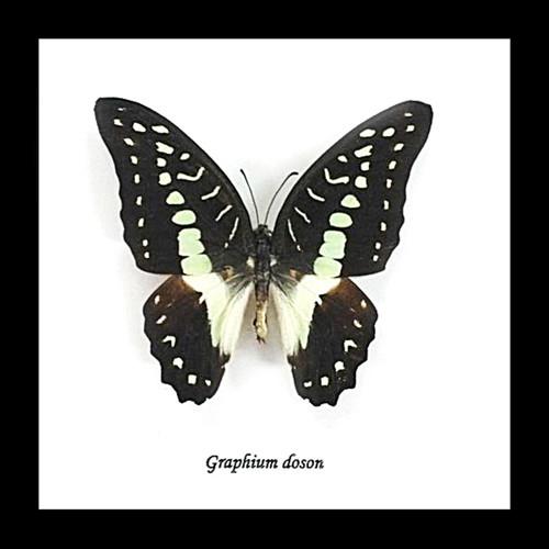 Australian butterfly graphium doson bitsandbugs
