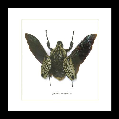 Goliath orientalis