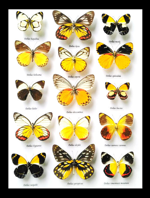 butterflies insects taxidermy home decor bits and bugs Delias